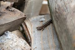 One little lizard hides in logs royalty free stock photos