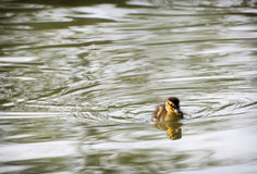One little mallard duckling in the water. One little yellow mallard duckling and its reflection in the water Royalty Free Stock Photo