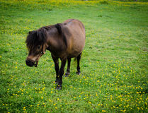 One Little Pony. This little guy meandered along the buttercup carpeted meadow, eating and enjoying the sunshine Stock Photography