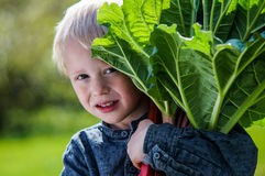 One little preschool boy who have Harvest one great bunch of rhubarbs in the garden on a sunny spring day. He wears a blue shirt and keep the rhubarb over the royalty free stock photos