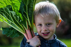 One little preschool boy who have Harvest one great bunch of rhubarbs in the garden on a sunny spring day. Royalty Free Stock Image