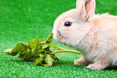 One little rabbit eating salad Stock Images