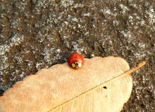 One Little Red Ladybug Climbing on a Dry Fallen Leaf Stock Photography