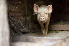 One little scared pig at farm Stock Image