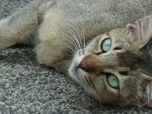 Stray cat green eyes Stock Images