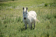 One little white horse or mule or pony?. What fun to see this tiny little strong and sturdy white horse  - mule or pony  - you decide-grazing  in a beautiful Royalty Free Stock Photo