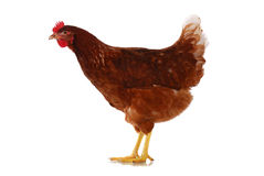 One live chicken full-length on white Royalty Free Stock Photos