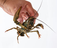 One live crayfish Stock Photography