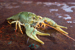 One live crayfish. On a metal surface Stock Images