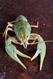 One live crayfish Stock Images