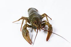One live crayfish Royalty Free Stock Image
