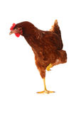 One live hen on the white Stock Image