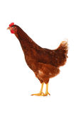 One live hen on the white Stock Images