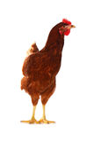 One live hen on the white Royalty Free Stock Images