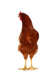One live hen on the white Stock Photos