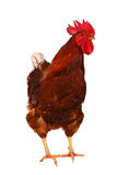 One live rooster on the white Royalty Free Stock Image