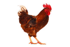 One live rooster on the white Stock Image
