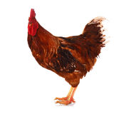 One live rooster on the white Stock Photo
