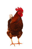 One live rooster on the white Stock Photography