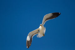 One lone Black back gull flying in bright blue sky Stock Photography