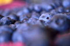 One lone blueberry poking its head up in a sea of blueberry same stock photography