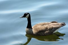 One Lone Canada Goose royalty free stock photo