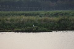 One lone Egret in the Bohai wet-lands new parl royalty free stock images