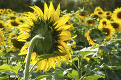 One lone sunflower stands above all the rest. Stock Photo