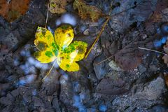 One lonely colorful leaf lying in the cold water surrounded among death gray leaves stock images
