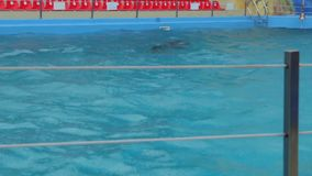 Dolphin Is Swimming In The Rain. One lonely dolphin is swimming in the rain in the swimming pool stock video footage