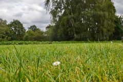 One lonely little chamomile on a grass lawn royalty free stock photography