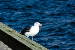 One lonely seagull standing at pier Stock Photography