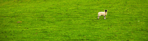 One Lonely Sheep in Grass. Panorama of one lonely sheep standing in green grass Royalty Free Stock Photo