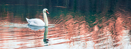 One Lonely Swan Swimming in the River Royalty Free Stock Photography