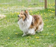 One long haired collie dog walks on green grass royalty free stock photography
