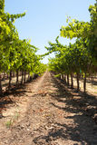 One long row in a California vineyard Royalty Free Stock Image