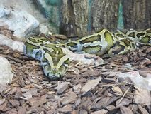 Serpente Boa Constrictor Royalty Free Stock Images