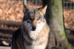 One looking Wolf Royalty Free Stock Photo