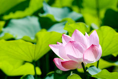 One lotus flower Royalty Free Stock Photography