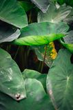 One lotus leaf stands out from other in the valley.  Royalty Free Stock Image