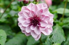 One lovely flower in the family dahlia Stock Photos