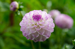 One lovely pink flower in the family dahlia Stock Photography