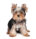 One lovely puppy Royalty Free Stock Photos