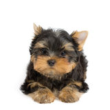 One lovely puppy Stock Photos