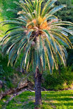 One lush palm tree shot in vertical orientation Royalty Free Stock Photo