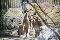 One lynx is liking another lynx in the cage Stock Photos