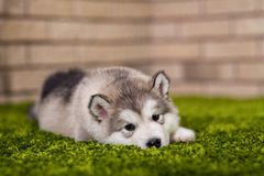 One malamute little puppy lying on the green grass. Against the brick wall background. Puppy looking at the camera.  Small miracle. Selective focus, toned image Stock Images
