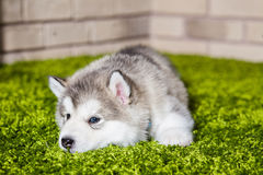 One malamute little puppy lying on the green grass. Against the brick wall background. Small miracle. Selective focus, toned image. Horizontal Royalty Free Stock Photo
