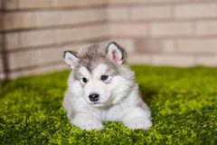 One malamute little puppy lying on the green grass. Against the brick wall background. Small miracle. Selective focus, toned image. Horizontal Stock Photography