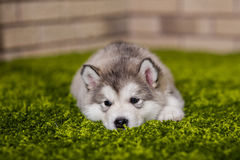 One malamute little puppy lying on the green grass. Against the brick wall background. Small miracle. Selective focus, toned image. Horizontal Stock Photos